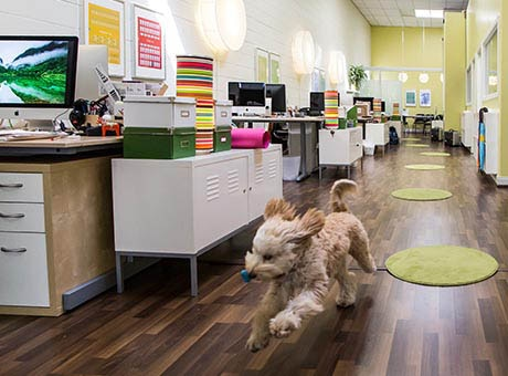 A dog plays in a pet-friendly office