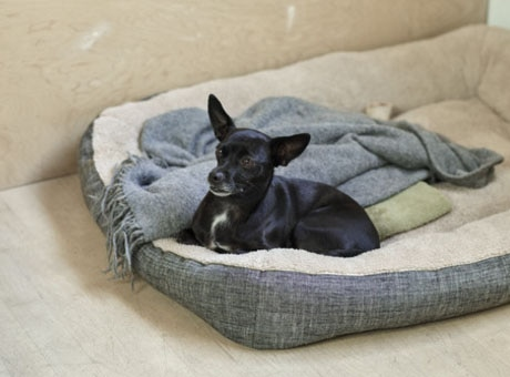 A dog rests  on a bed after taking a walk