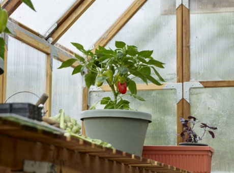 Red pepper plant on a shelf in a greenhouse