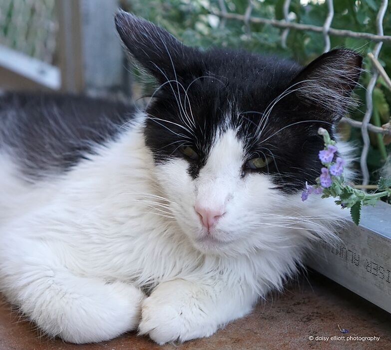 A white and black cat lays outside near a purple flower.